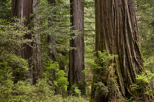 Redwoods photograph