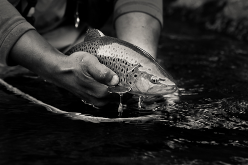 Brown Trout Image