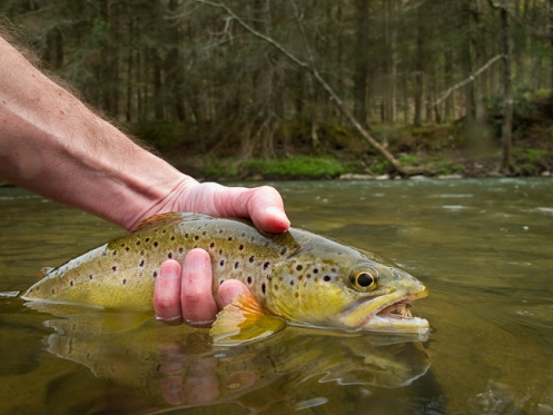 picture of brown trout
