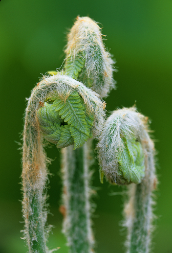 close up image of fiddleheads