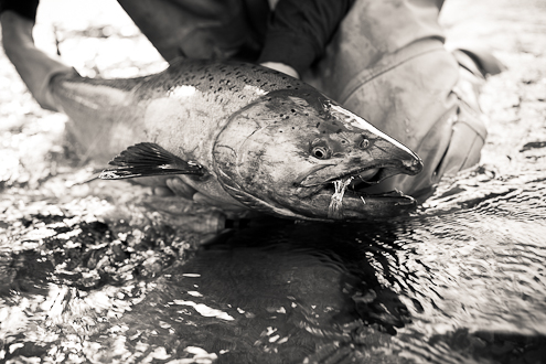 alaska fly fishing photography king salmon